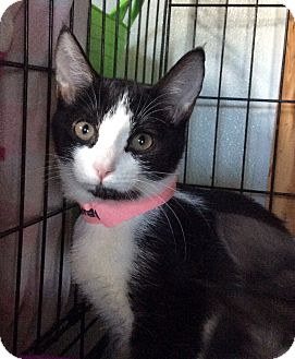 Domestic Shorthair Kitten for adoption in Breinigsville, Pennsylvania - Bella Marie