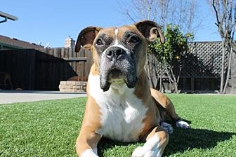 Boxer Dog for adoption in Fremont, California - Malcolm