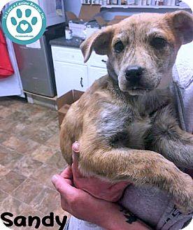 Labrador Retriever/Hound (Unknown Type) Mix Puppy for adoption in Kimberton, Pennsylvania - Sandy