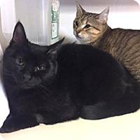 Domestic Shorthair Cat for adoption in Milton, Massachusetts - Frittata