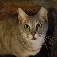 Adopt A Pet :: Brigot's Smokey - Yukon, OK