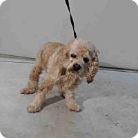Adopt A Pet :: LULU - Orlando, FL