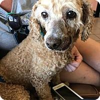 Adopt A Pet :: Paw Paw - Las Vegas, NV