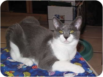 Domestic Shorthair Cat for adoption in Port Republic, Maryland - Flash
