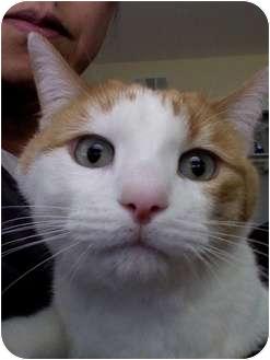 Domestic Mediumhair Cat for adoption in Sherman Oaks, California - Sam