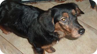 Dachshund/Spaniel (Unknown Type) Mix Dog for adoption in Raleigh, North Carolina - Marla