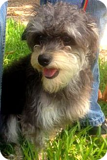 Poodle (Miniature)/Terrier (Unknown Type, Small) Mix Dog for adoption in Houston, Texas - Louie