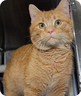 Domestic Shorthair Cat for adoption in Eagan, Minnesota - Snapple