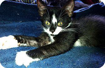 Domestic Shorthair Kitten for adoption in Seminole, Florida - Coal