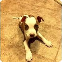 Adopt A Pet :: Roosevelt - Arlington, TX