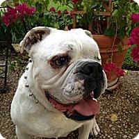 Adopt A Pet :: Dozer - Cibolo, TX