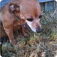 Adopt A Pet :: Whitney - Arlington, TX