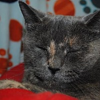 Domestic Shorthair Cat for adoption in Hillsdale, Indiana - Baby Girl