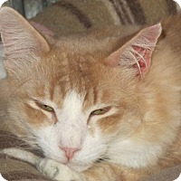 Maine Coon Cat for adoption in Brooklyn, New York - Jimmy Gorgeous Orange