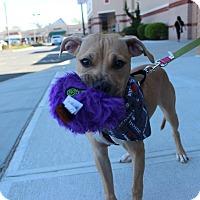 Adopt A Pet :: Penny - Shrewsbury, NJ
