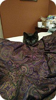 Domestic Shorthair Cat for adoption in Leonardtown, Maryland - Summer