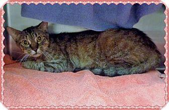 Domestic Shorthair Cat for adoption in Marietta, Georgia - DOODLES