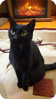 Domestic Shorthair Cat for adoption in Witter, Arkansas - Sam
