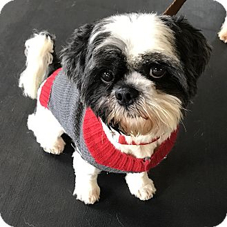 Shih Tzu Mix Dog for adoption in Los Angeles, California - CHAPLIN