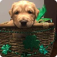 Adopt A Pet :: Acacia's Puppy AMBER - Murrells Inlet, SC
