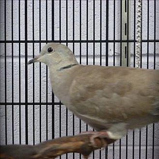 Dove for adoption in Elizabeth, Colorado - Goofy