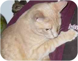 Domestic Shorthair Cat for adoption in Fayette, Missouri - Rawhide