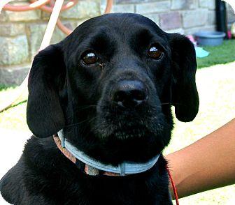 Cocker Spaniel Mix Dog for adoption in white settlment, Texas - Thor