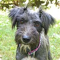 Adopt A Pet :: Sasha - Mocksville, NC