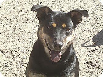 Doberman Pinscher Mix Dog for adoption in Crawfordville, Florida - Jolee