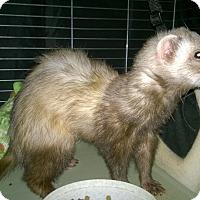 Adopt A Pet :: Monkey - Spokane Valley, WA