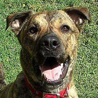 Labrador Retriever Mix Dog for adoption in Phoenix, Arizona - Rudy