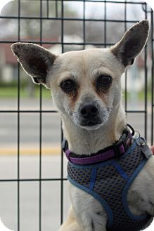 Chihuahua Mix Dog for adoption in Dallas, Texas - Chewy