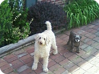 Poodle (Miniature) Mix Dog for adoption in Winchester, Virginia - Cosmo and Bridget