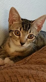 American Shorthair Cat for adoption in Nuevo, California - Dingy
