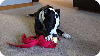 Pit Bull Terrier/Labrador Retriever Mix Dog for adoption in Homer, New York - Diamond (Dee)