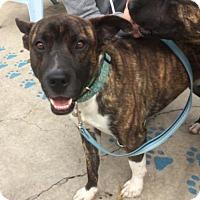 Adopt A Pet :: Hudson - Newport Beach, CA