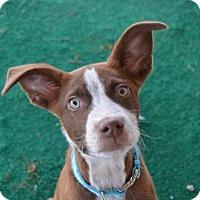 Adopt A Pet :: Beckett - Athens, AL