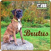 Adopt A Pet :: Brutus - Woodinville, WA