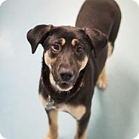 Adopt A Pet :: Brie - Chicago, IL