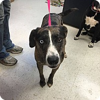 Adopt A Pet :: Duchess in CT - Manchester, CT