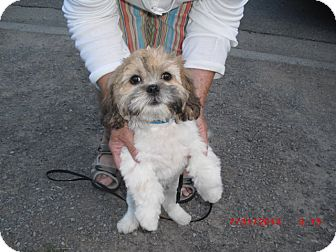 Shih Tzu Puppy for adoption in Northumberland, Ontario - Boss.