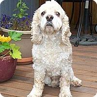 Adopt A Pet :: PATCHES - Tacoma, WA