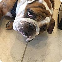 Adopt A Pet :: Fozzy - Cibolo, TX
