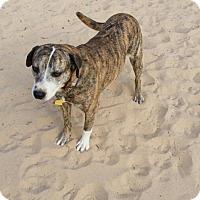 Catahoula Leopard Dog/Carolina Dog Mix Dog for adoption in Roanoke, Virginia - Bonnie