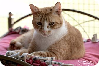 Domestic Shorthair Cat for adoption in Transfer, Pennsylvania - Buddy