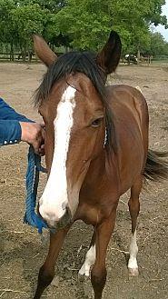 Quarterhorse Mix for adoption in Hitchcock, Texas - Gazelle