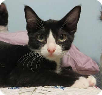 American Shorthair Kitten for adoption in Ellicott City, Maryland - .Simon