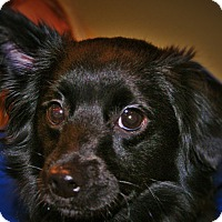 Spaniel (Unknown Type) Mix Puppy for adoption in Redondo Beach, California - Edward Cullen