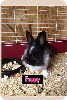 Lionhead Mix for adoption in Lower Burrell, Pennsylvania - Peppy
