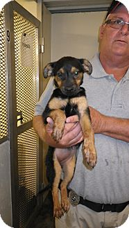 German Shepherd Dog Mix Puppy for adoption in Fort Scott, Kansas - Jodi